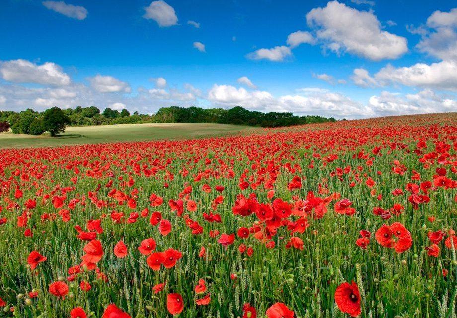 """""""Легенда про маки"""" – вірш про квіти"""